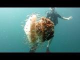Медуза  большая